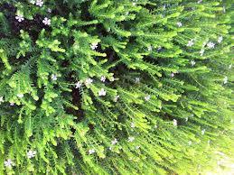 Buchu Plant image