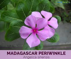 Madagascar periwinkle plant image