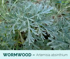 WORMWOOD PLANT IMAGE