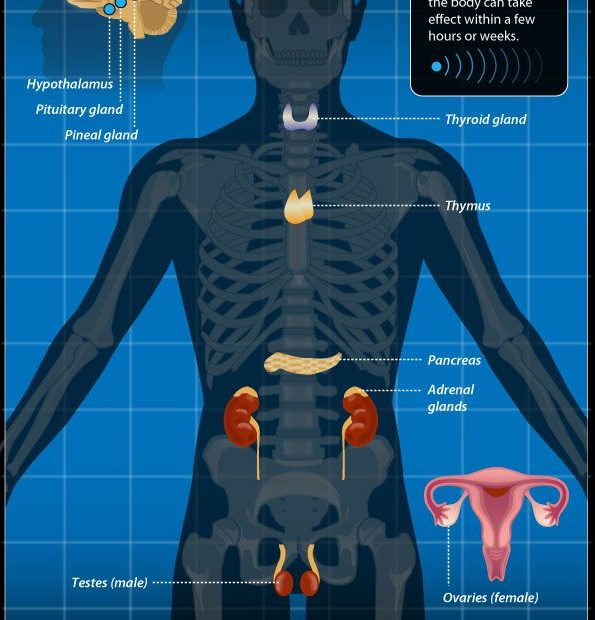 female endocrine system image
