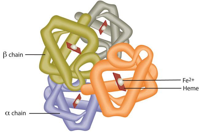 haemoglobin image