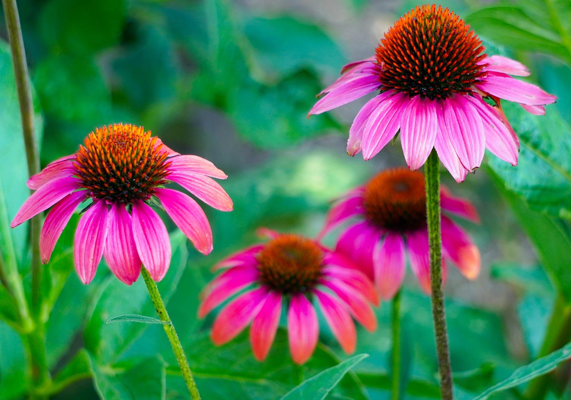 echinacea image