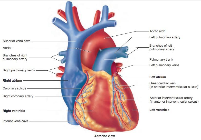 anatomy of heart image