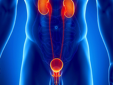 urinary tract image